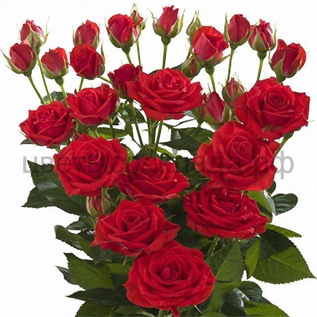 Роза 60 Спрей Ред Романтик