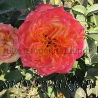 Роза 60 Спрей Чармант