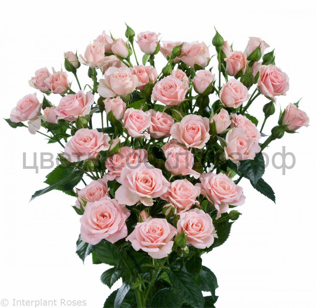 Роза 50 Спрей Лидия