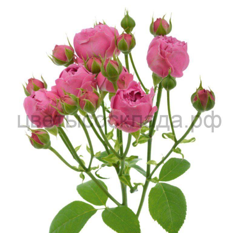 Роза 50 Спрей Мисти Баблз