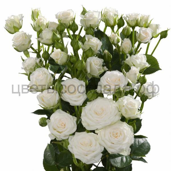 Роза 50 Спрей Сноу Флейк
