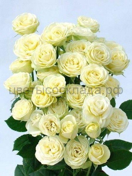 Роза 40 см Спрей Крими Эден