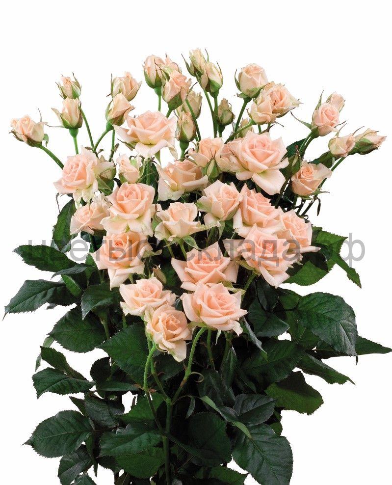 Роза 40 Спрей Свит Сара