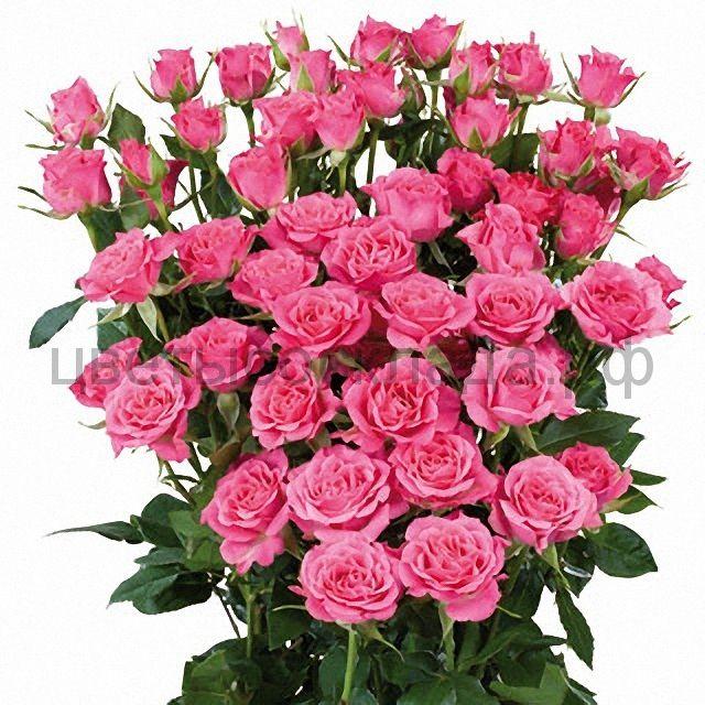 Роза 40 Спрей Лиана