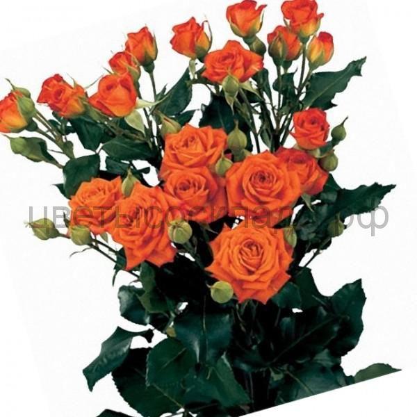 Роза 40 Спрей Бейб