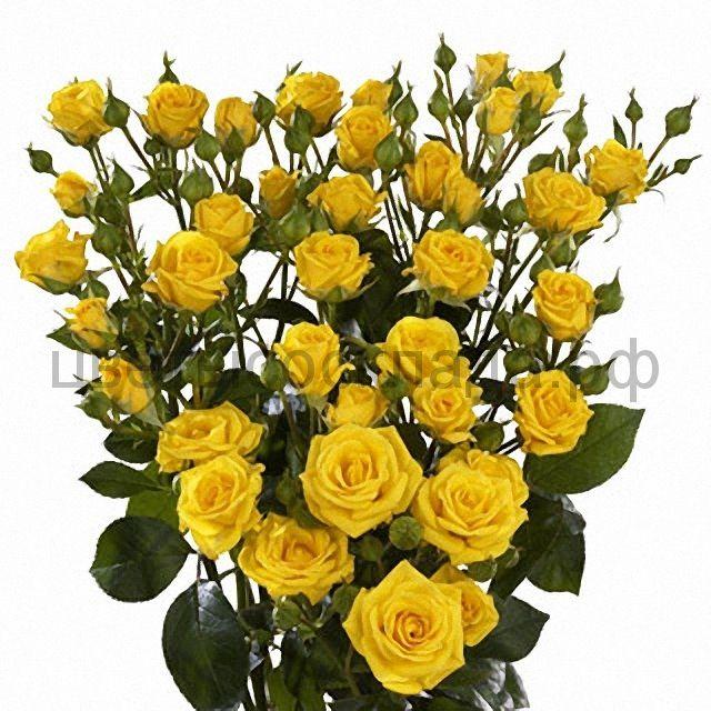 Роза 30 Спрей Шайн