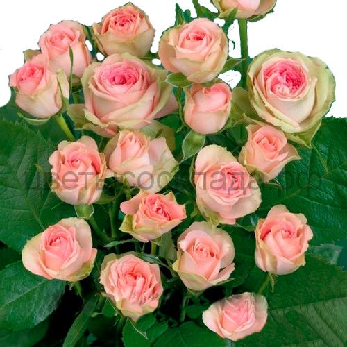 Роза 40 Спрей Мими Эден
