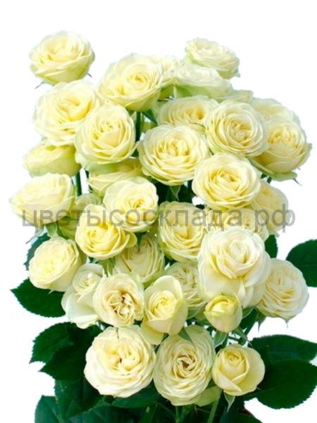 Роза 40 Спрей Крими Эден