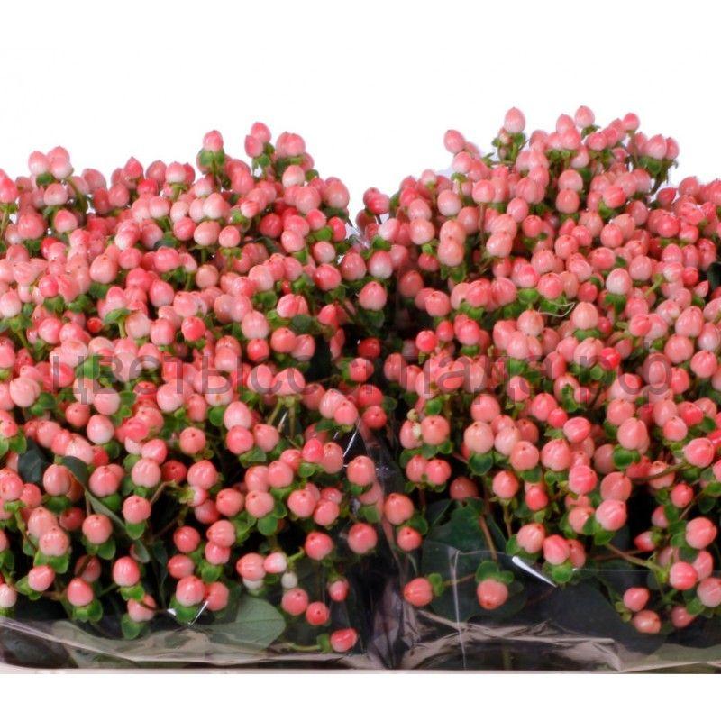 Гиперикум белый, розовый