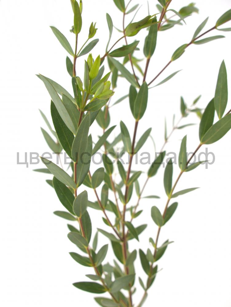 Эвкалипт parvifoglia*10(0,1)