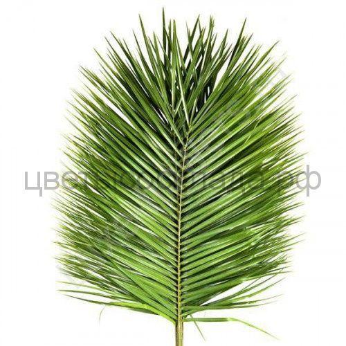 Листья робелини*10(0,1)