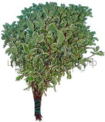 Питтоспорум nigra 45 см.