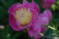 Пион травянистый 'Боул оф Бьюти' / Paeonia 'Bowl of Beauty'