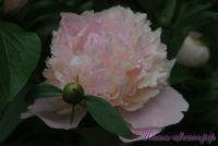 Пион травянистый 'Вог' / Paeonia 'Vogue'