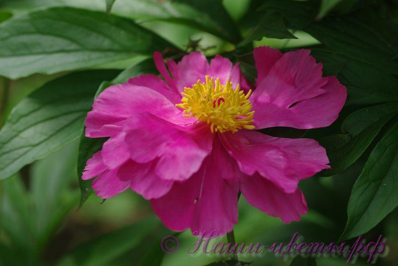 Пион травянистый 'Нефритовая дева' / Paeonia 'Nefretivaj deva' / 'Fen Yu Nong'