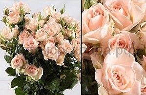Роза 60 Спрей Свит Баблс
