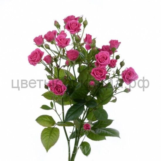 Роза 50 Спрей Лавли Лидия