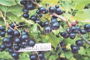 Смородина черная Литвиновская