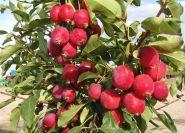 Яблоня традиционная Китайка Керр