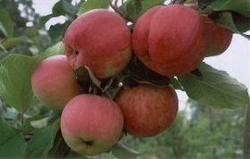 Яблоня традиционная Аксена