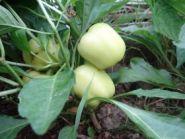 Перец сладкий Колобок желтый