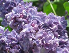 Сирень обыкновенная Виолетта