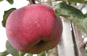 Яблоня традиционная Легенда