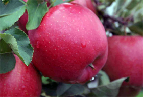 Яблоня традиционная Хани Крисп (Malus Honeycrisp) (Подвой суперкарликовый МБ)
