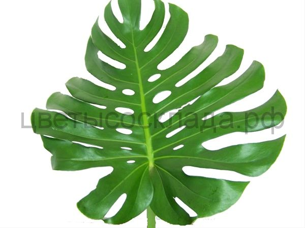 Monstera Large