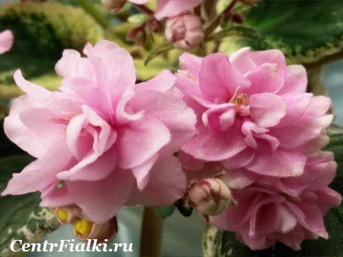 Cajun's Roses Anyone (B.Thibodeaux)