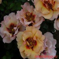 Айконик Пинк Лемонад (Eyeconic Pink Lemonade)