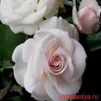 Аспирин Роз (Aspirin Rose)