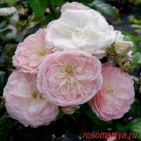 Буке Парфе (Bouquet Parfait)