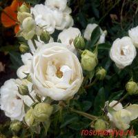 Вайт Мосдаг (White Morsdag)