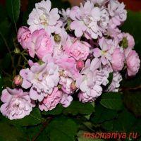 Гирлянде роз (Guirlande Rose)
