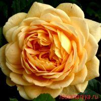 Голден Селебрейшн (Golden Celebration)