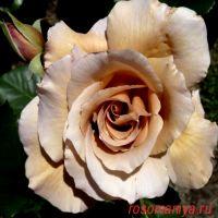 Джулиас Роз (Julia's Rose)