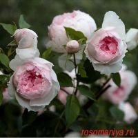 Зе Веджвуд Роз (The Wedgwood Rose)