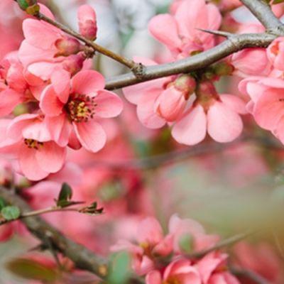 Cherry Blossom (PG) (TPA)