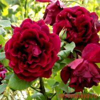 Кримсон Глори (Crimson Glory Cl.)