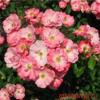 Пинк Бланкет (Pink Blanket)