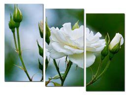 Роза и бутоны