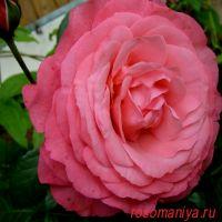 Розанна (Rosanna)