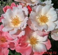 Розеромантик (Roseromantic)