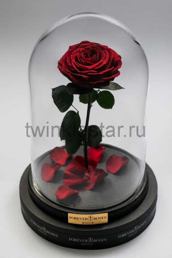 Роза в колбе (бордовая) на прямом стебле, 33 см