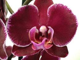Орхидея Happy Angel 12/60
