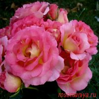 Пинк Парадиз (Pink Paradise)