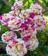Роза чайно-гибридная Ваниль Фрайз