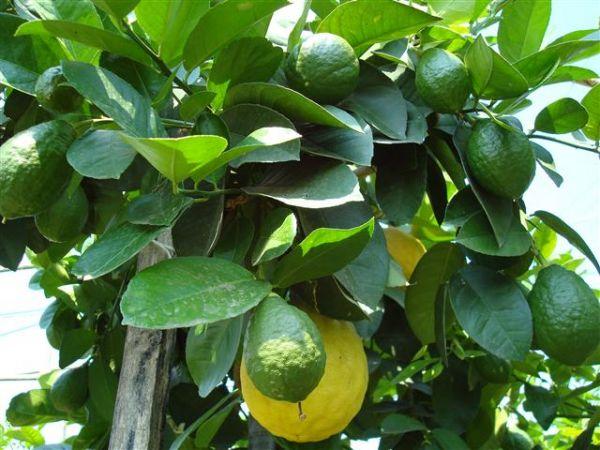 лимон комнатный майкопский