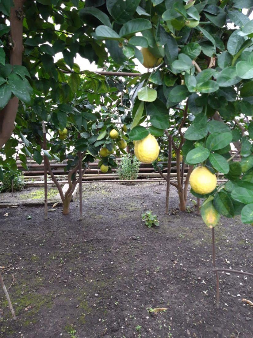Лимон Пандероза 1 год